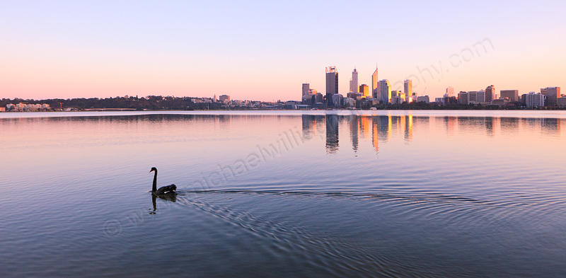 Black Swan on the Swan River at Sunrise, 20th July 2013