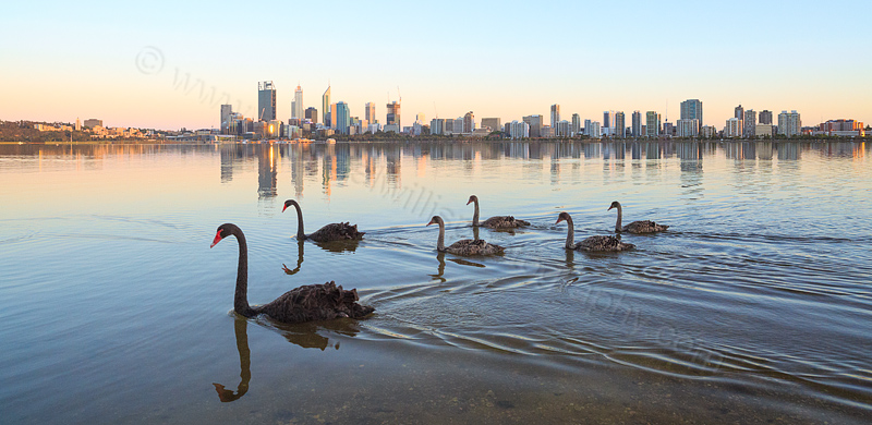 Black Swans and Cygnets on the Swan River at Sunrise, 9th November 2014