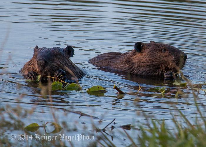 Beaver 5539.jpg