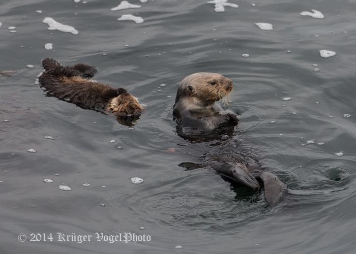 Sea Otters 8314.jpg