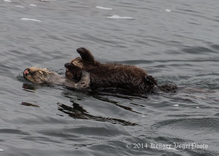 Sea Otters 8320.jpg