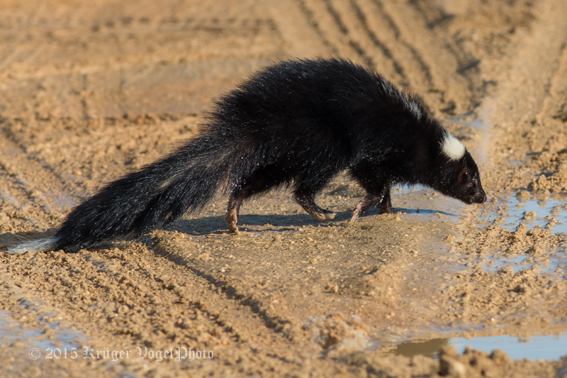 Striped Skunk 2680.jpg