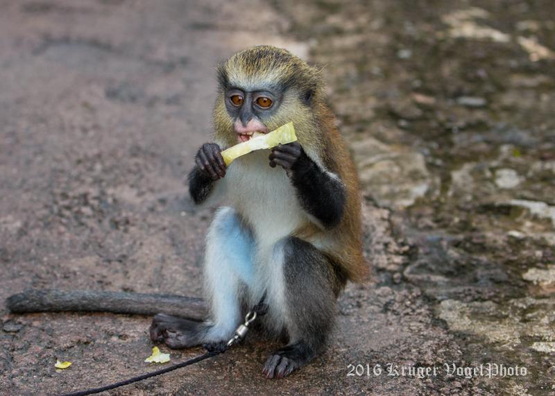 Mona Monkey 1272.jpg