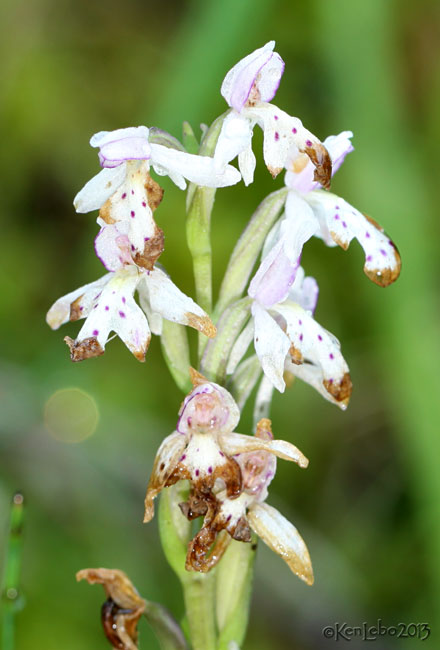Round-leaved Orchid Orchis rotundifolia