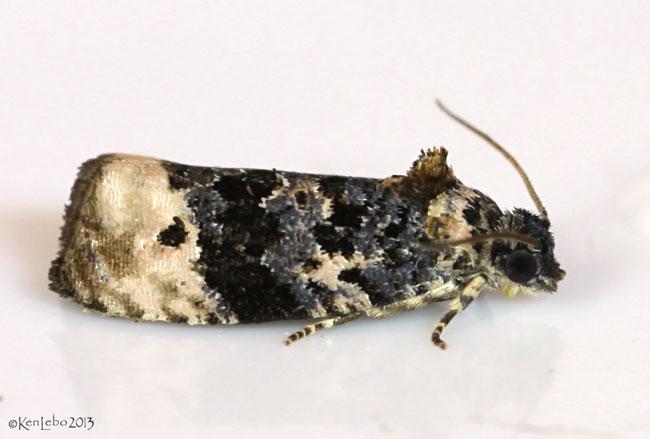 Pink-washed Leafroller Moth Metendothenia separatana #2860