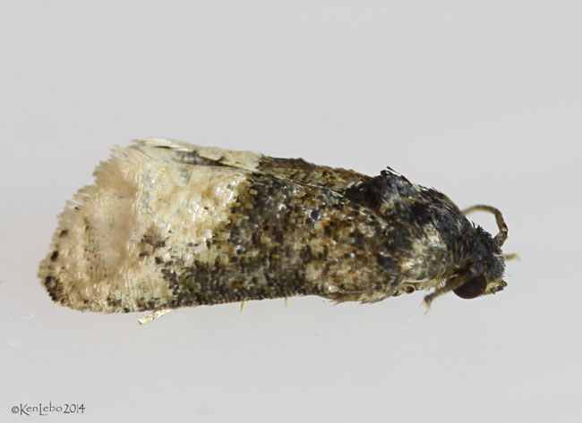 Locust Twig Borer Moth Ecdytolopha insiticiana #3497