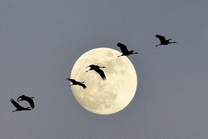 Crane in the Moon