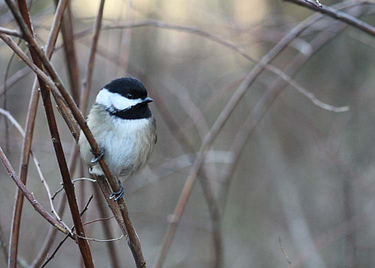 02 chickadee at dawn