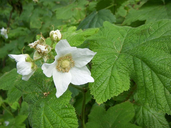 Rubus parviflorus (thimbleberry), Roseacea vine/shrub: mar-may