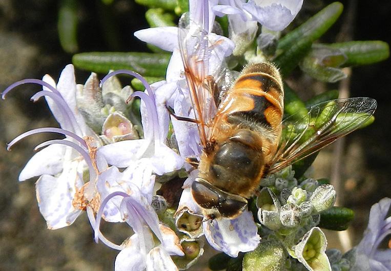 DSCN7656 BeeFly on Rosemary