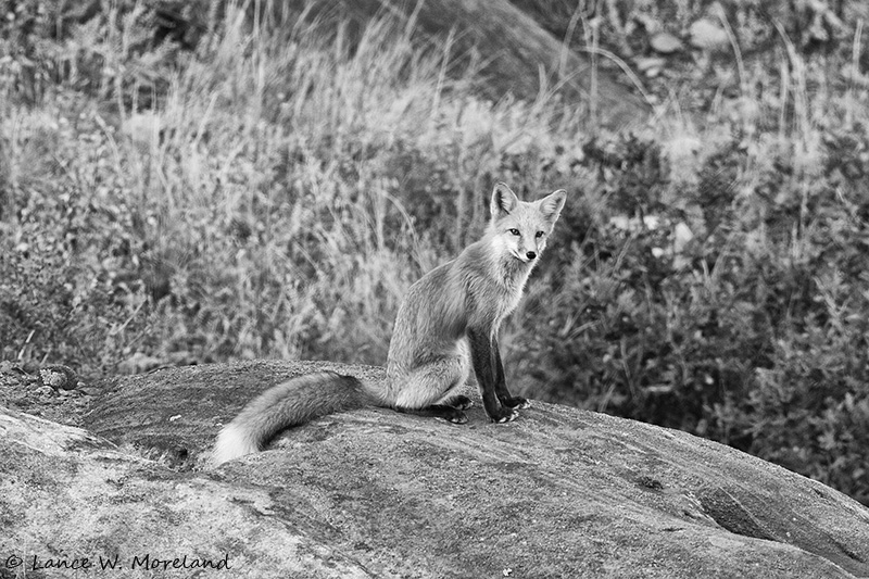 Red Fox Strikes a Pose