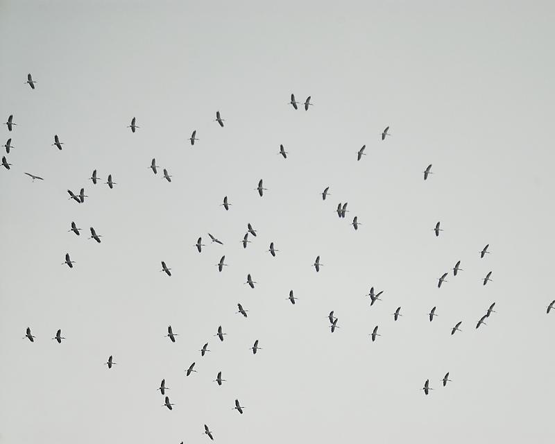 wood stork BRD0232.JPG