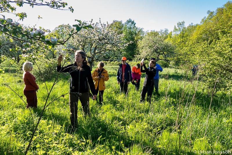 Efter tältresning blev det promenad för att beundra den gamla äppelträdgården, en sagolik plats.