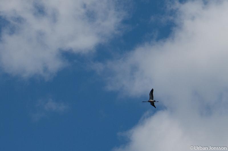Tranor flög förbi över oss.