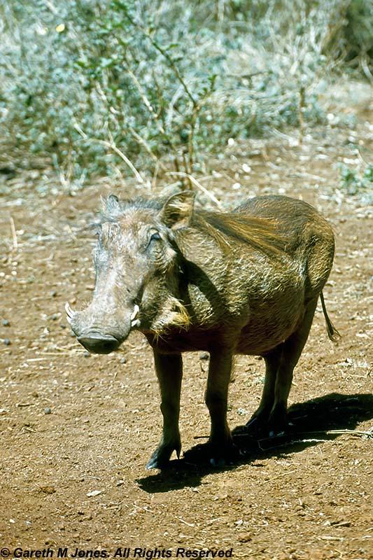 Warthog, Nairobi 0102