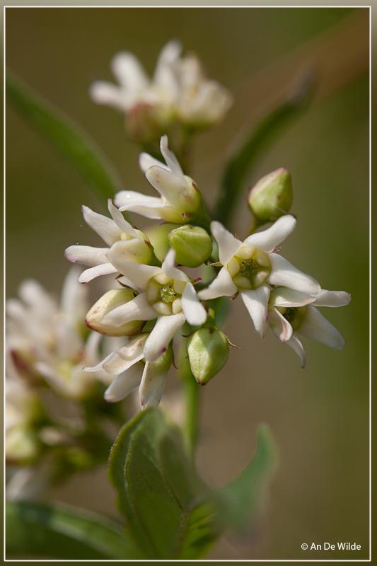 Witte engbloem - Vincetoxicum hirundinaria
