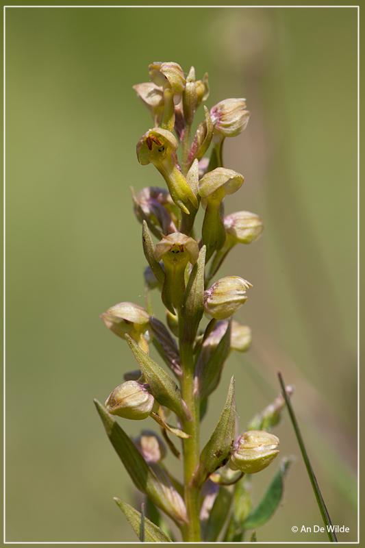 Groene nachtorchis - Dactylorhiza viridis