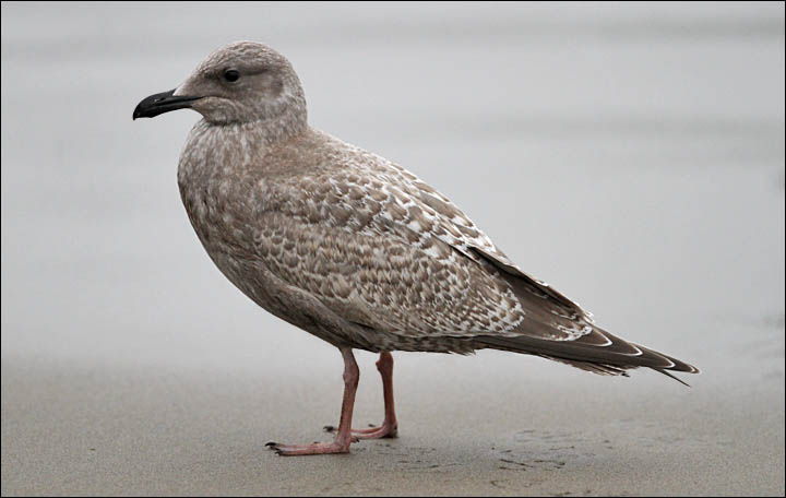 Thayers type gull