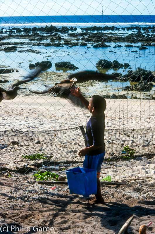 Feeding a captive frigate bird