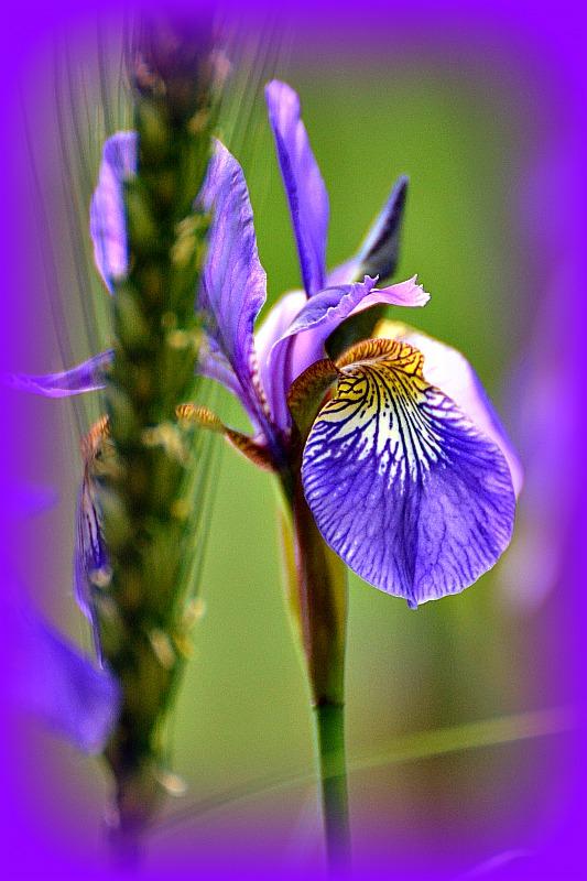 Blue Iris DSC_0160gpb
