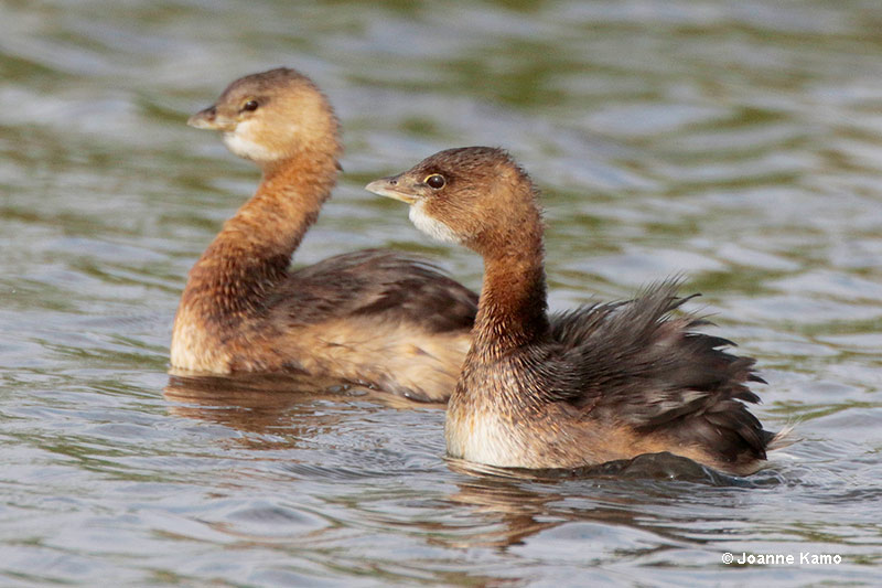 Pied-billed Grebes Attraction