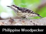 Philippine Woodpecker