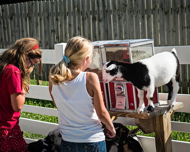 Goat Begging at Food Dispenser
