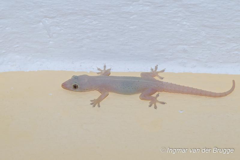 Hemidactylus frenatus - Common House Gecko
