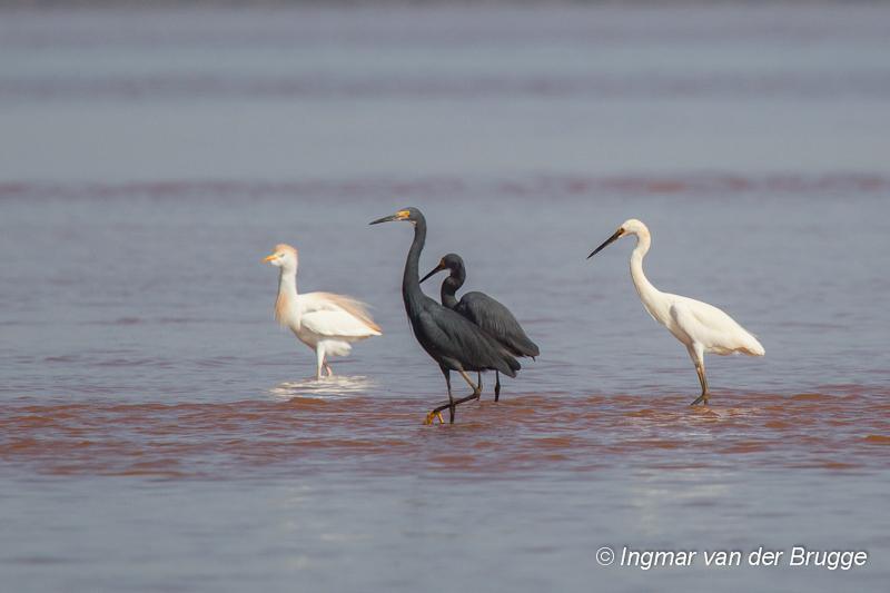 Dimorphic Egret & Cattle Egret