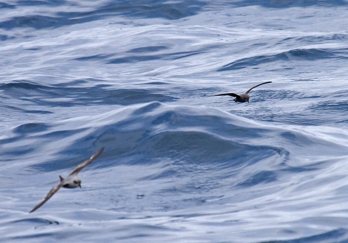 Ashy Storm-Petrel off Newport, Oregon