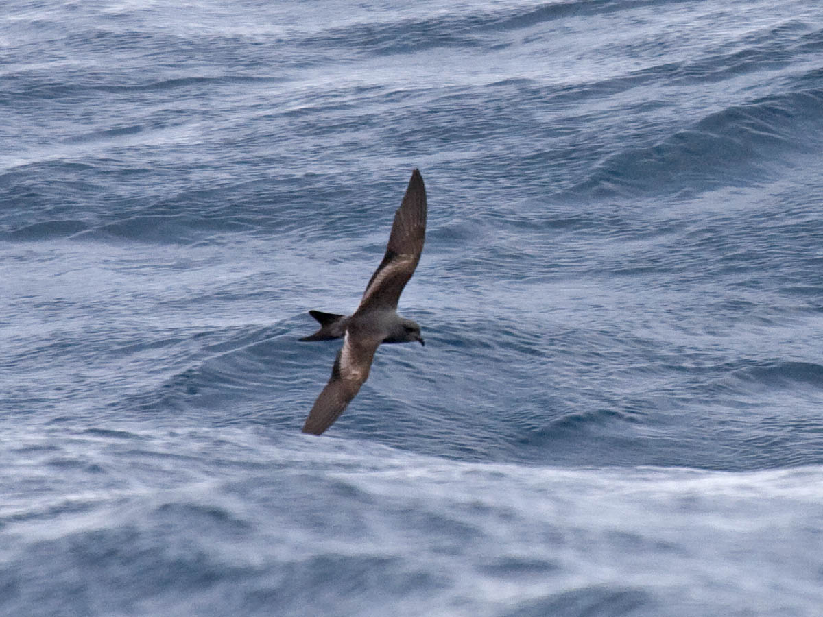 Ashy Storm-Petrel off Newport, Oregon. May 18, 2014. Greg Gillson.
