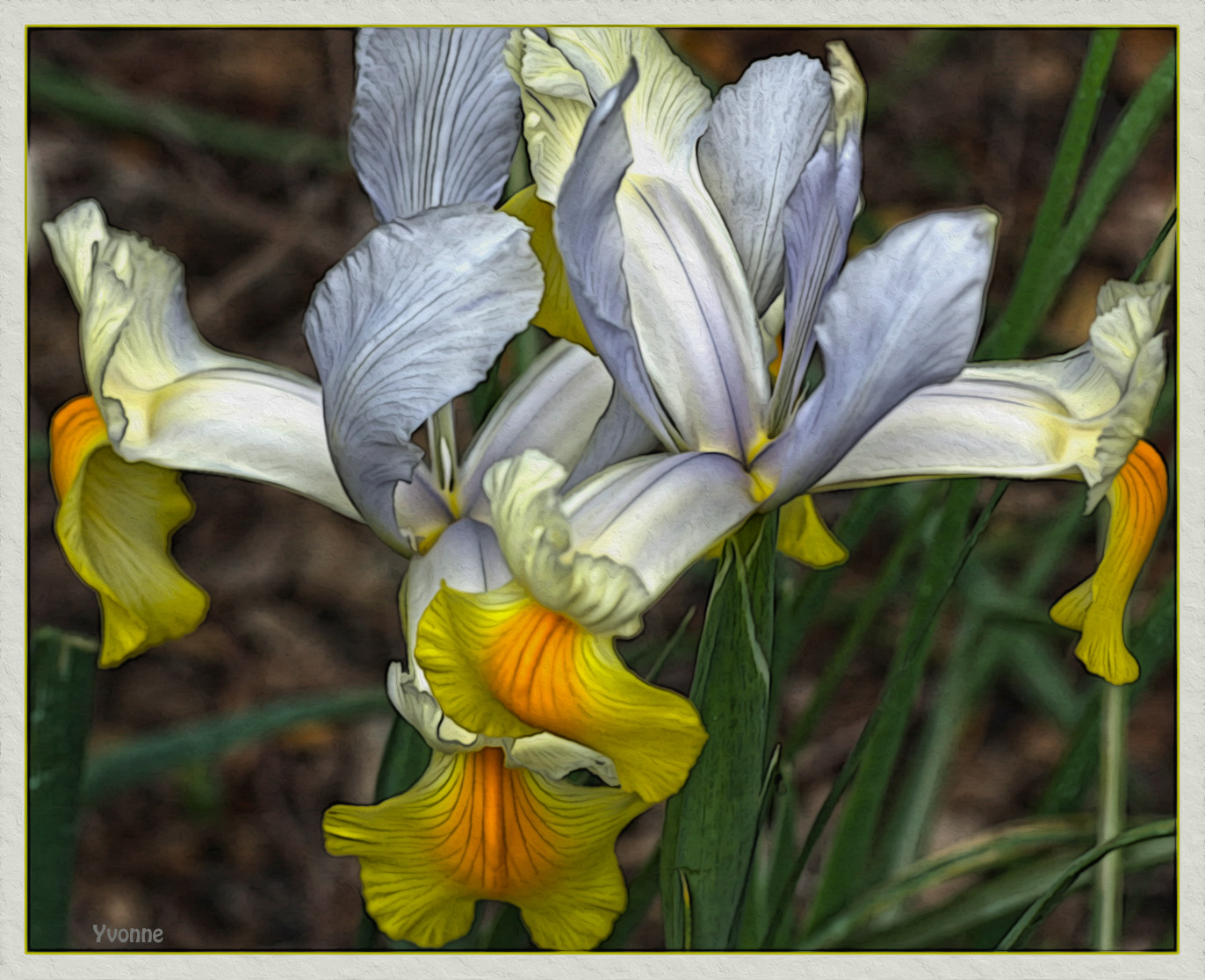 Dutch Iris Apollo