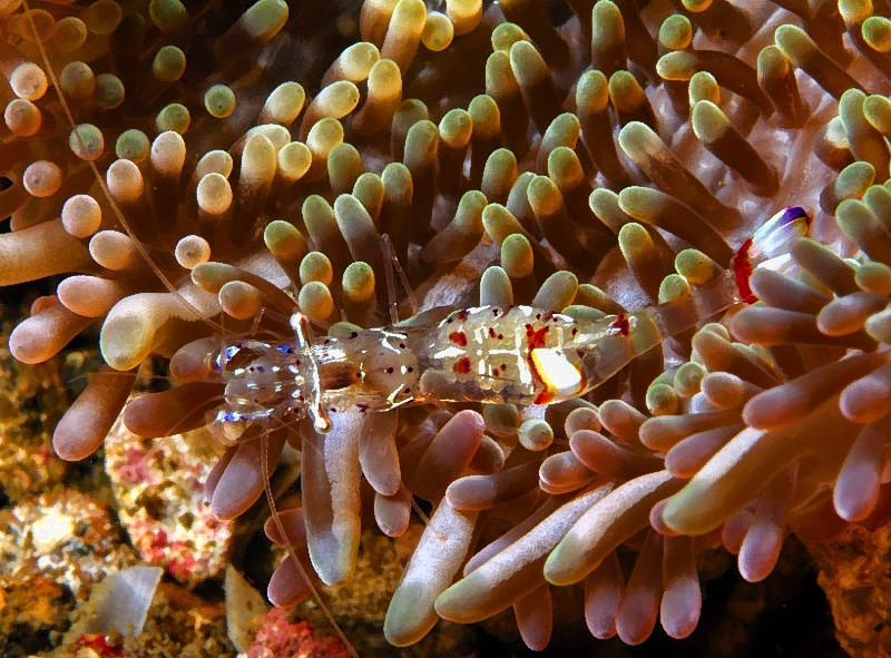 Transparent Shrimp With Eggs