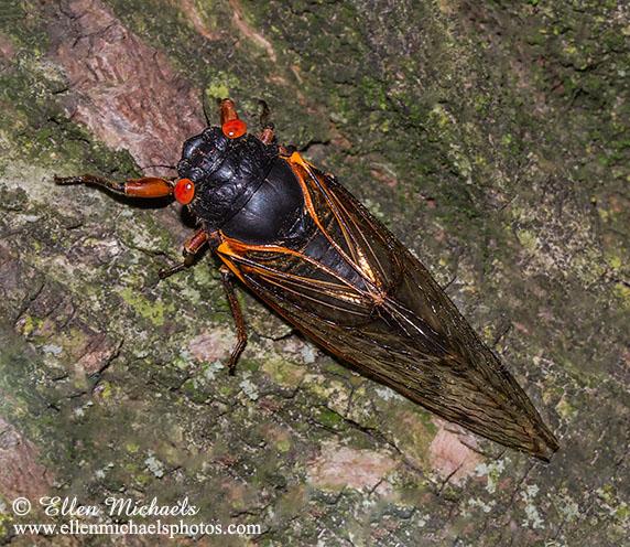 Periodical 17-yr Cicada