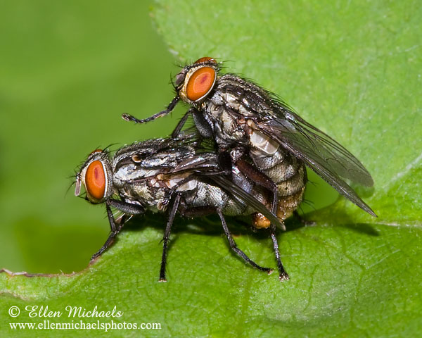 Flesh Fly (mating)