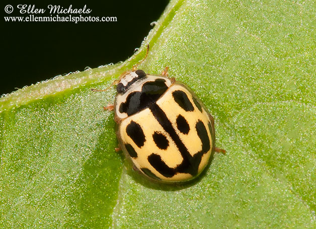 Fourteen-spotted Lady Beetle
