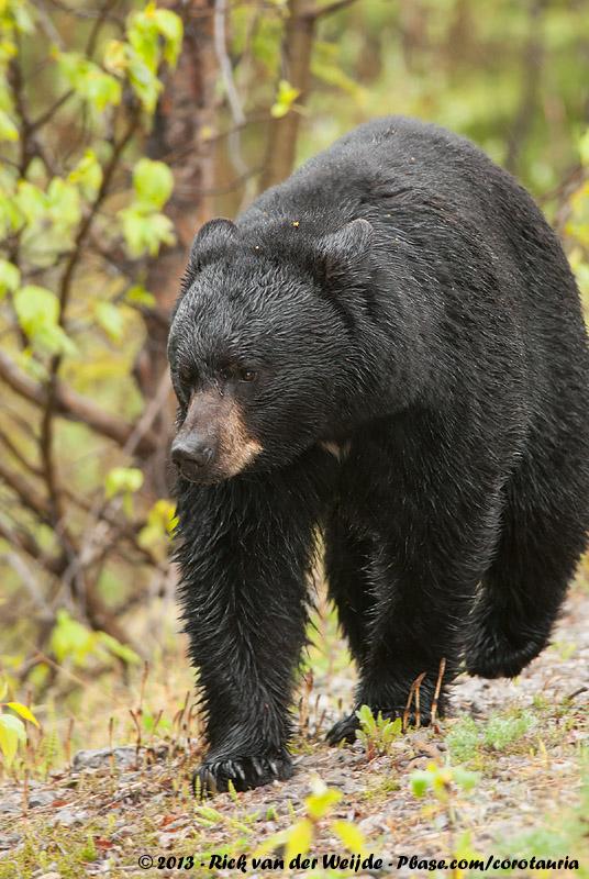 American Black Bear<br><i>Ursus americanus americanus</i>