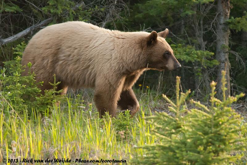 American Black Bear<br><i>Ursus americanus cinnamomum</i>