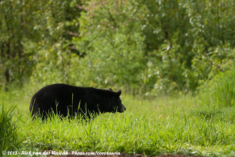 American Black Bear<br><i>Ursus americanus altifrontalis</i>