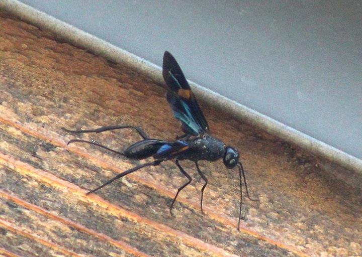Pristaulacus fasciatus; Aulacid Wasp species; female