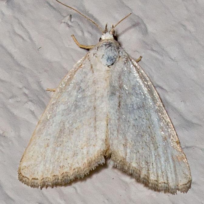 9048 Pale Glyph (Protodeltote albidula)