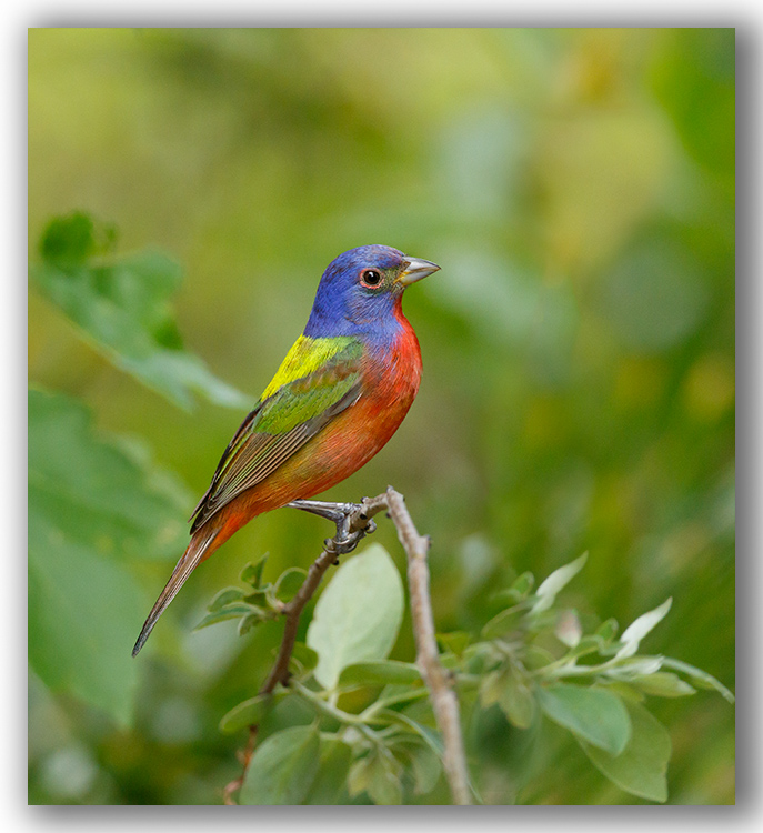 Painted Bunting/Passerin nonpareil