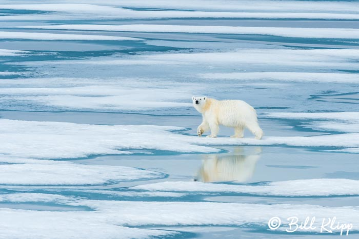 Polar Bear on the Ice, Prince Regent Inlet  1