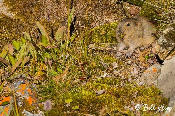 Lemming,  Croker Bay  Devon Island  1
