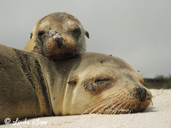 Sea Lions, Mom & Pup, Espanola Island  10