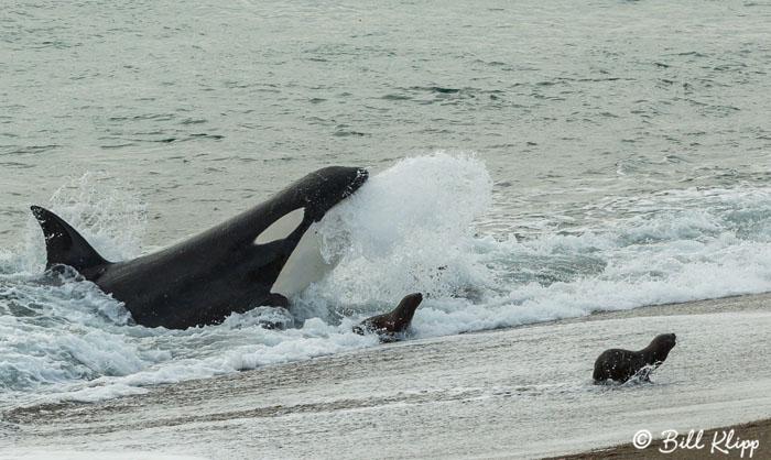 Orca Attack  2
