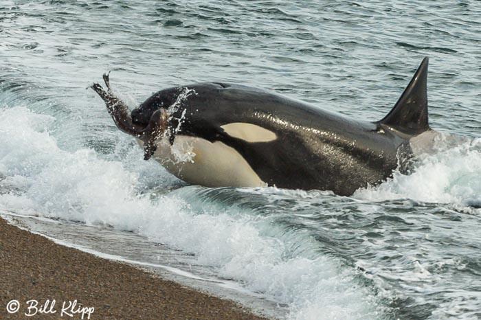 Orca Attack  3