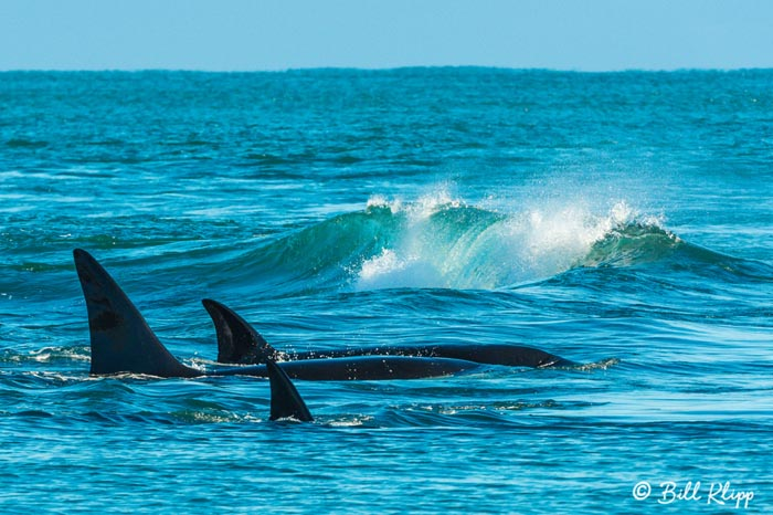 Orcas Cruising  4