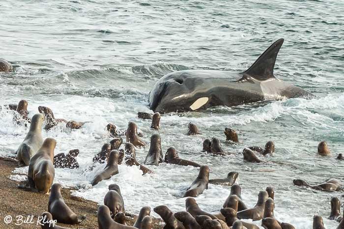 Orca Attack  12