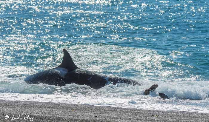 Orca Beach Attack  23